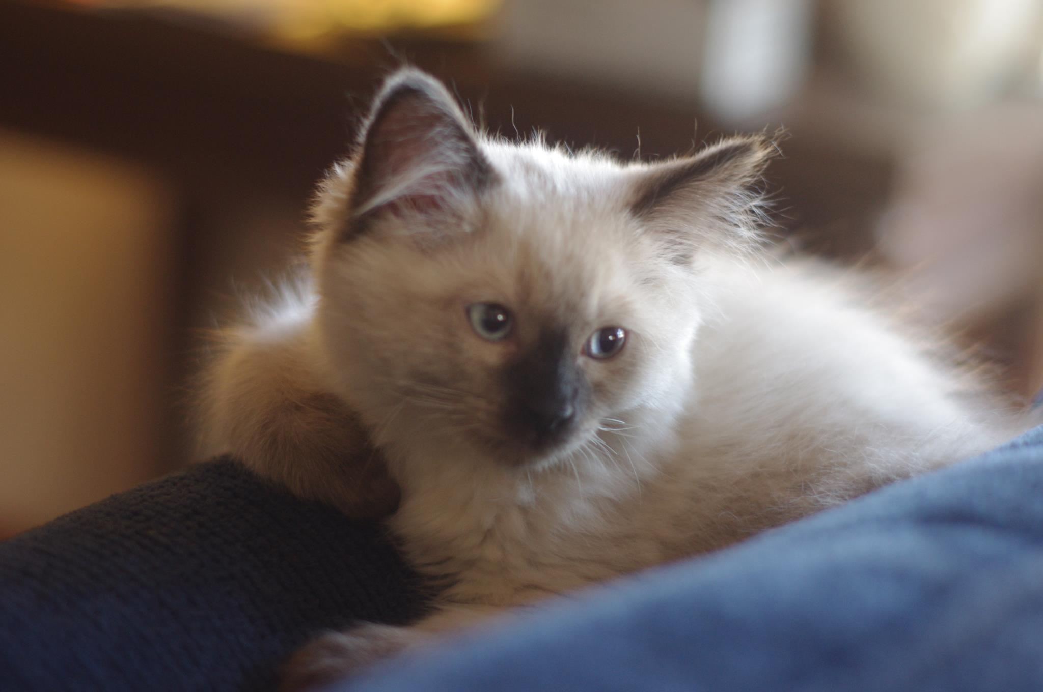 Ragdoll cats for sale in missouri