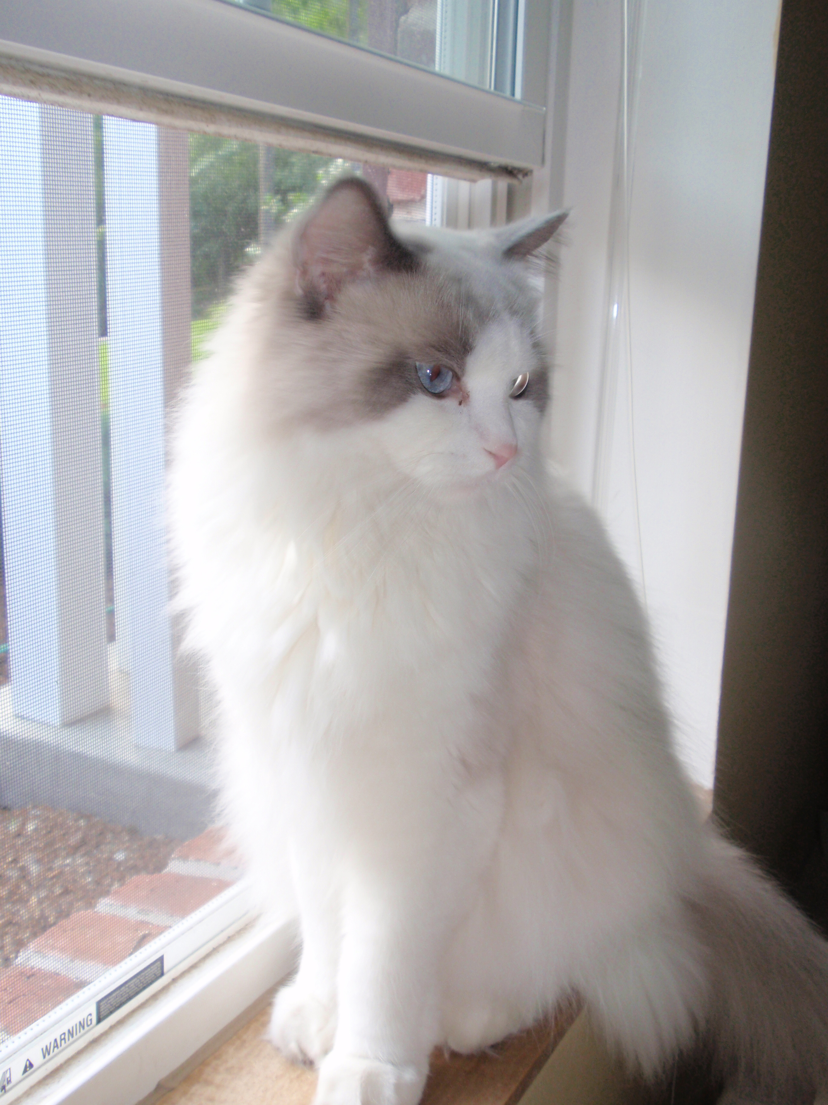 How much does a male ragdoll cat weigh